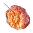http://avala.bold-themes.com/autumn/wp-content/uploads/sites/2/2020/11/small_leaf_02.png