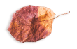 http://avala.bold-themes.com/autumn/wp-content/uploads/sites/2/2020/11/small_leaf_03.png
